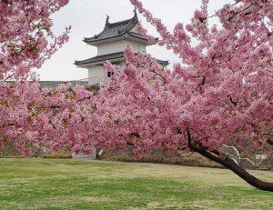 pemandangan sakura